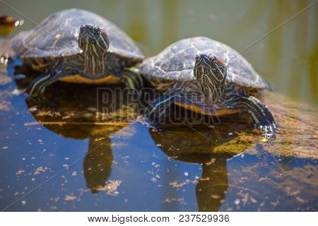 group of turtles at the pond on a log. background