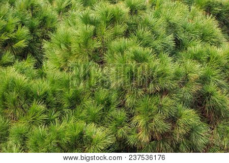 Pine, spruce green parts of tree. Fresh plant, conifer with needles. Nature background, close up view.