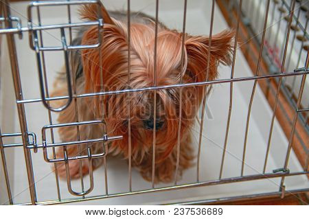 Sad Yorkshire Terrier Sits In Cage With Bowed Head. Concept Of Lost Pet, Loneliness, Abandoned Dog,