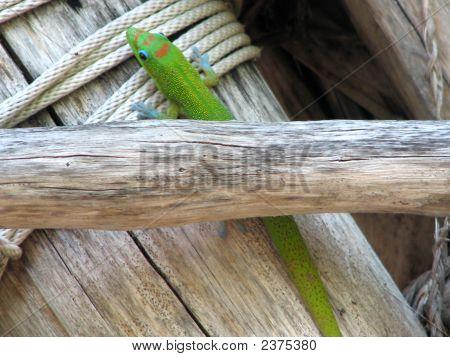 A Hawaiian gecko crossing over rope between wooden poles. The Big Island Hawaii. poster