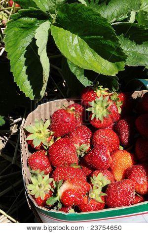 Strawberry Basket In The Field