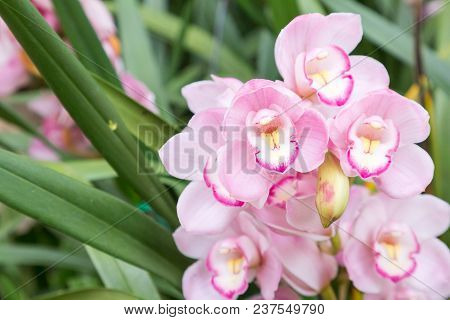 Orchid Flower In Orchid Garden At Winter Or Spring Day. Orchid For Postcard Beauty And Agriculture I
