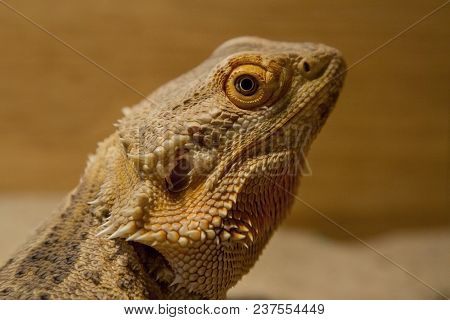 Close-up Photo Portrait Of A Bearded Dragon