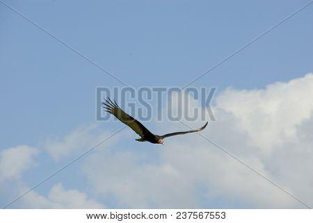 Vulture, Celestún, Mexico