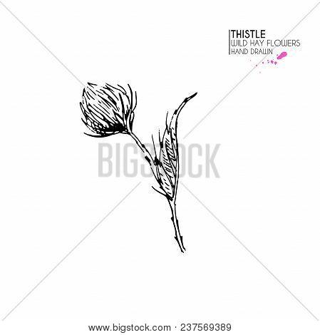 Hand Drawn Wild Hay Flower. Milk Marian Thistle. Medical Herb. Vintage Engraved Art. Botanical Illus