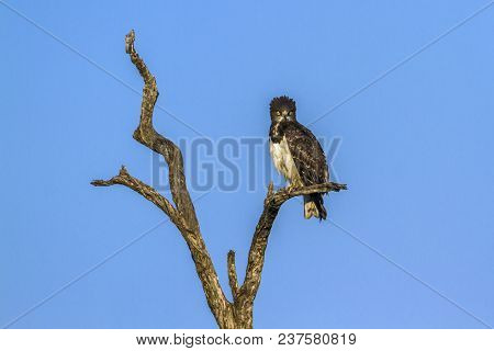 Black-chested Snake-eagle In Kruger National Park, South Africa ; Specie Circaetus Pectoralis Family