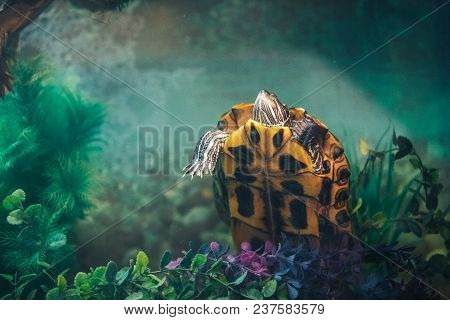 Red Eared Slider Turtle Trachemys Scripta Elegans Resting In The Summer Sunlight In Aquarium With Be