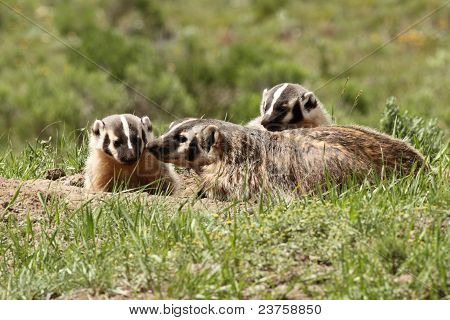 A badger family