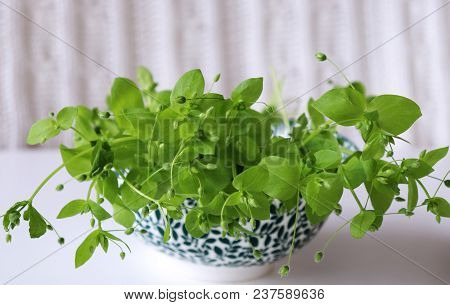 Porcelain Bowl With Fresh Chickweed Stellaria Media On A Wooden White Table. . Young Taste Very Gent