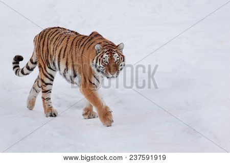 Wild Siberian Tiger Is Chasing Its Prey On White Snow. Animals In Wildife. Winter Morning.
