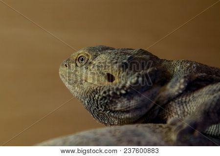 Photo Portrait Of A Beautiful Bearded Dragon