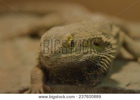 Closeup Photo Of A Breaded Dragon Under A Heat Lamp
