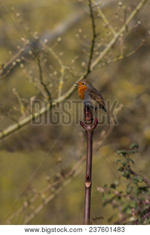 Photo Of A Little Robin Red Breast Sitting A Bush