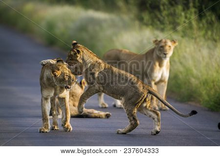 African Lion In Kruger National Park, South Africa ; Specie Giraffa Camelopardalis Family Of Giraffi