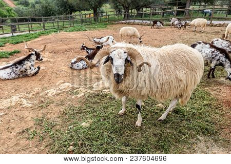 A Herd Of Portuguese Goats Is Kept In The Stall. To Graze