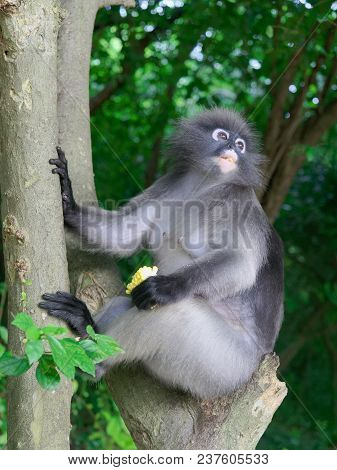 Dusky Leaf Monkey, Long Tail Monkey, Or Langur Holding Corn, Gave By Tourist, Sitting And Relaxing O