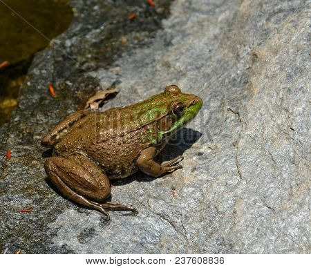 A Northen Green Frog (lithobates Clamitans Melanota), An Amphibian, Basks In The Sun Atop A Watersid