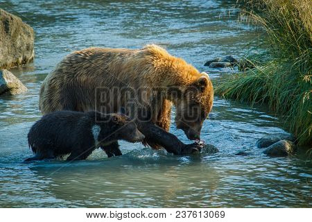 Mama Bear With Her Little Cub Fishing In Chilkat River In Haines In Alaska, Amazing Bear-watching Ex
