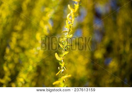 Yellow Flowers On Willow Branches In Spring .