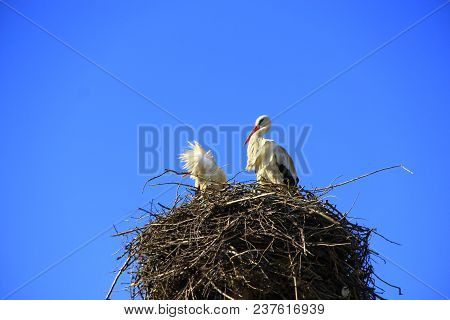 Pair Of Storks Sitting In Nest. Peaceful Birds On Background Of Blue Sky. Storks Returning To Their