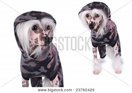Chinese Crested Dogs Portrait Isolated On White