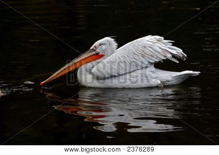 Fighter - shot of the Dalmatian pelican on the black water poster