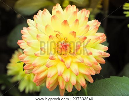 Beautiful Yellow Dahlia Flower In Garden. Chinese Flower. Close Up And Selective Focus