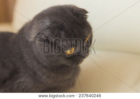 Funny Gray Scottishfold Cat Sitting On Sofa And Looking Up - Domestic Pets Concept.
