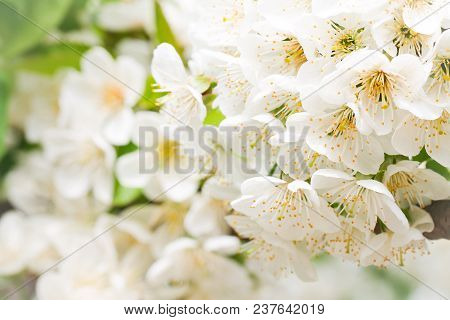 Light Spring Floral Background With A White Cherry Blossom.