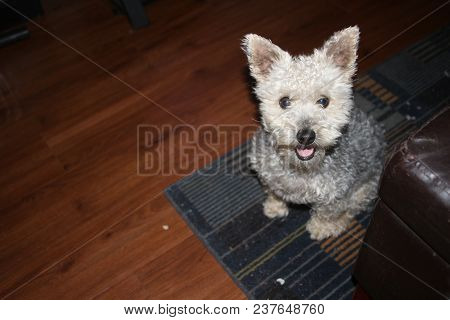 Yorkie And Poodle Mix Dog That Is Hypo Alergenic