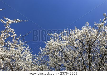 Blossoming Tree Branches Against Blue Sky In Spring. Hawthorn Tree Flowers Blooming On Sky Backgroun