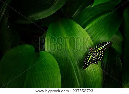 Graphium agamemnon on green leaf, close-up.