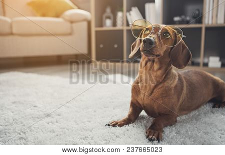 Smart Domesticated Dachshund Dog Wearing Glasses. It Is Looking Up With Curiosity While Lying On Car