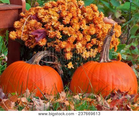 A Photograph Of Two Bright Orange Pumpkins In Front Of Rust Mums Beside A Garden Bench On A Leaf Str