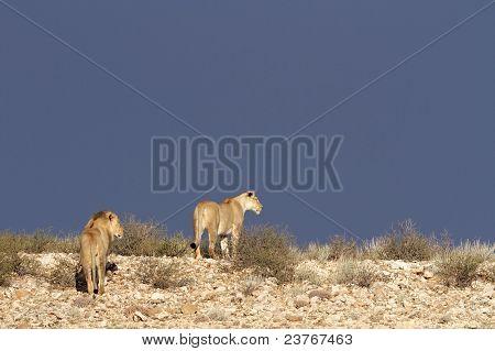 Desert African Lions, South Africa