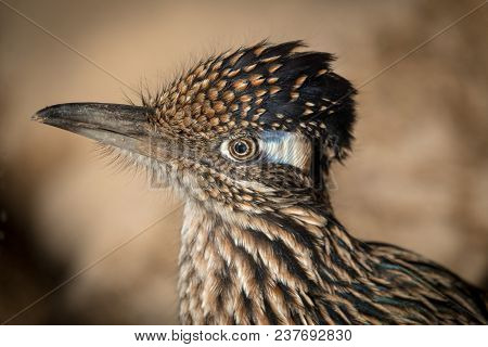 Greater Roadrunner Geococcyx Californianus Close Up Of Head And Shoulders