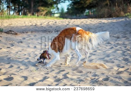 Russian Wolfhound Dog, Borzoi Play With Bottle, Sighthound, Russkaya Psovaya Borzaya, Psovi. Killer