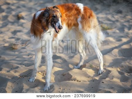 Russian Wolfhound Dog, Borzoi On The Sand, Sighthound, Russkaya Psovaya Borzaya, Psovi. Killer Of Wo