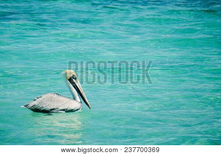 Pelican In The Puerto Morelos Town At Quintana Roo State, Mexico