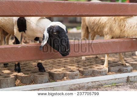 Cute Sheep In The Farm, Animal Mamal Farming Concept.