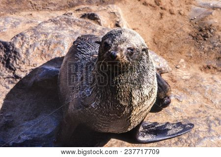 Cape Fur Seal (arctocephalus Pusillus) Cape Cross, Namibia, Africa