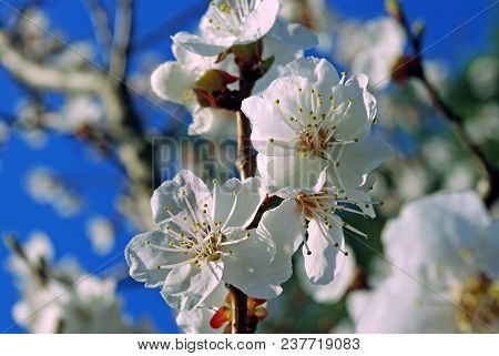 Flowering Apricot On Blue Sky Background Close-up.  Spring Flowers.