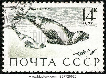 Ukraine - Circa 2018: A Postage Stamp Printed In Ussr Show Ribbon Seal Or Phoca Fasciata. Series: Ma
