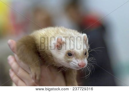 Laski And Ferrets Are The Genus Of Mammals Of The Family Of Cunichi
