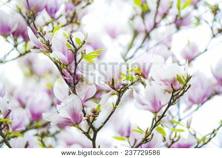 Magnolia Tree And Flowers, Blooming In The Spring Season In The Garden.
