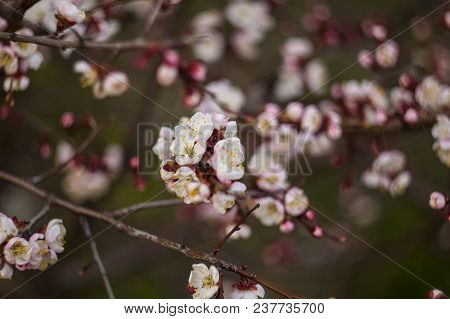 Flowering Apricot On A Clear Spring Day