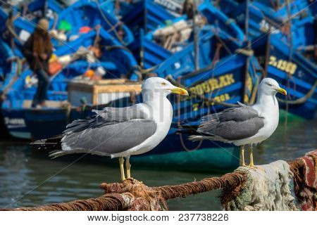 Blue fishing boats in the port of Essaouira and seagulls in the foreground, Morocco