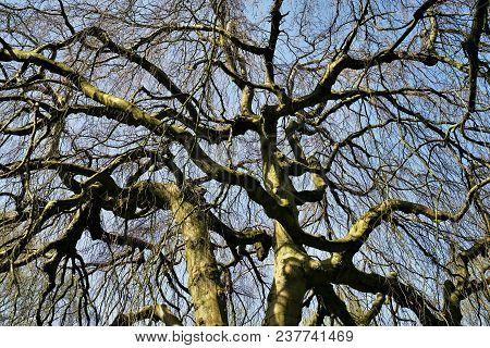 Hanging beech - Fagus sylvatica pendula in a forest poster