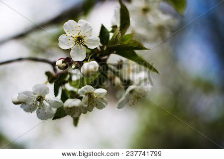 White Blossoming Flowers On A Pear Tree