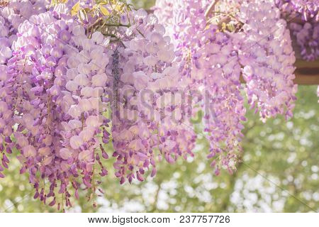 Flowering wisteria close-up